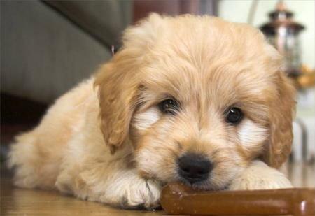 Chó bị rụng lông - Nguyên nhân và cách chữa trị - cho bi rung long nguyen nhan va cach chua tri