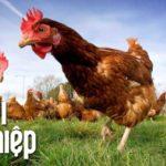 """Chuyên gia phục """"sát đất"""" với chiến lược chăn nuôi gà """"cực chất"""" - Khởi nghiệp 220 - chuyen gia phuc sat dat voi chien luoc chan nuoi ga cuc chat khoi nghiep 220 150x150"""