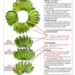 3 bước đơn giản phân biệt chuối Laba và các loại chuối khác