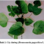 Kỹ thuật trồng cây gai xanh phần 2: Cây gai xanh (Rami)