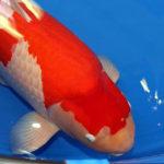 Ngắm cá Koi đắt nhất thế giới giá gần 42 tỷ đồng - ngam ca koi dat nhat the gioi gia gan 42 ty dong 150x150