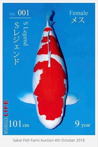 Ngắm cá Koi đắt nhất thế giới giá gần 42 tỷ đồng - ngam ca koi dat nhat the gioi gia gan 42 ty dong 2