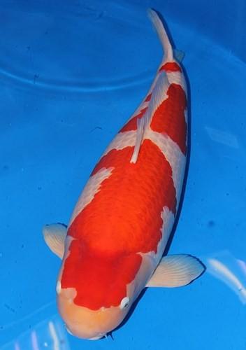 Ngắm cá Koi đắt nhất thế giới giá gần 42 tỷ đồng - ngam ca koi dat nhat the gioi gia gan 42 ty dong 4