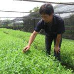 Tác dụng chữa bệnh của cây cỏ ngọt - tac dung chua benh cua cay co ngot 2 jpg 150x150