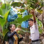 Trồng chuối Laba, nông dân Lâm Đồng thu lãi nửa tỷ/ha