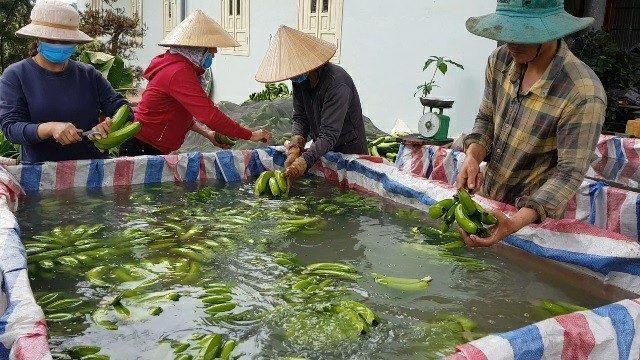 Trồng chuối Laba, nông dân Lâm Đồng thu lãi nửa tỷ/ha 6