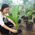 Trồng dừa sáp cấy phôi, cơ hội giúp nông dân làm giàu - trong dua sap cay phoi co hoi giup nong dan lam giau 3 jpg 150x150
