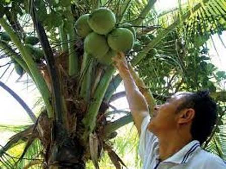Trồng dừa sáp cấy phôi, cơ hội giúp nông dân làm giàu - trong dua sap cay phoi co hoi giup nong dan lam giau 6