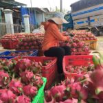 Vì sao thanh long Bình Thuận rớt giá thê thảm?