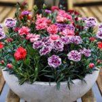 Bật mí danh sách các loại hoa dễ trồng trong chậu