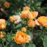 Bộ sưu tập cây hoa đẹp không thể không có trong nhà