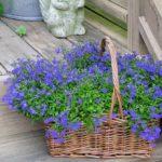 Các giống hoa đẹp trên ban công, tốn ít công chăm sóc