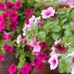 Các loại hạt giống hoa dễ trồng trên ban công