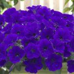 Các loài hoa màu tím dễ trồng ở trong nhà
