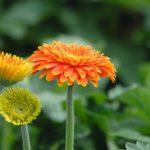Điểm danh các loại hoa lâu tàn trưng tết