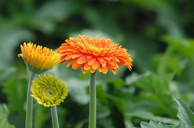 Điểm danh các loại hoa lâu tàn trưng tết - diem danh cac loai hoa lau tan trung tet 3 640x425