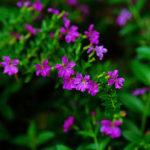 Điểm danh các loài hoa nở quanh năm vừa dễ trồng lại không tốn công chăm sóc