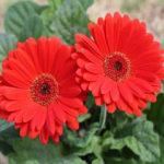 Rinh ngay về tay các loại hoa Tết dễ trồng chào xuân 2019
