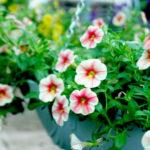 Các loại hoa thích hợp trồng ban công làm duyên cho ngôi nhà