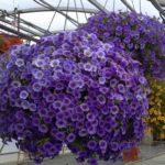Các loại hoa trồng ban công hướng Tây cần được chăm sóc như thế nào?