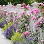 Cách chăm sóc các loại hoa leo cho bông tuyệt đẹp