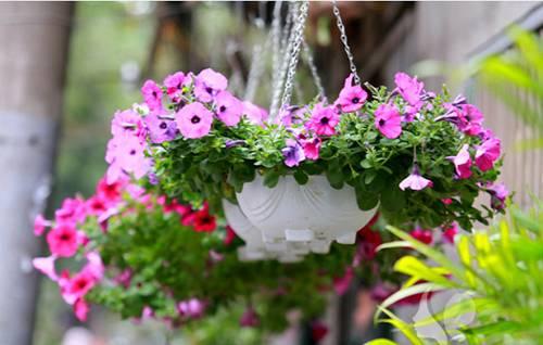 Cách trồng và chăm sóc các loại hoa treo ở ban công mà bạn nên biết - cach trong va cham soc cac loai hoa treo o ban cong ma ban nen biet 7