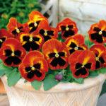 Ngây ngất trước vẻ đẹp của các loài hoa trồng trong chậu nhỏ trang trí ban công