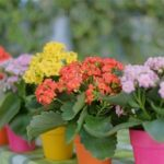 Cách chăm sóc hoa bỏng đơn giản nhất