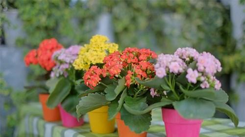 Cách chăm sóc hoa bỏng đơn giản nhất - cach cham soc hoa bong don gian nhat 2