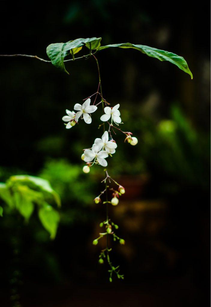 Cách chăm sóc hoa Dạ Minh Châu cho người ít kinh nghiệm - cach cham soc hoa da minh chau cho nguoi it kinh nghiem 1