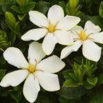 Cách chăm sóc hoa dành dành nở bông thơm ngát