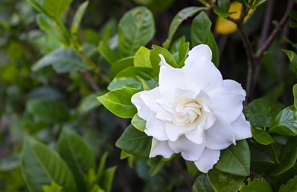 Cách chăm sóc hoa dành dành nở bông thơm ngát - cach cham soc hoa danh danh no bong thom ngat