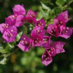 Cách chăm sóc hoa giấy nở đúng tết