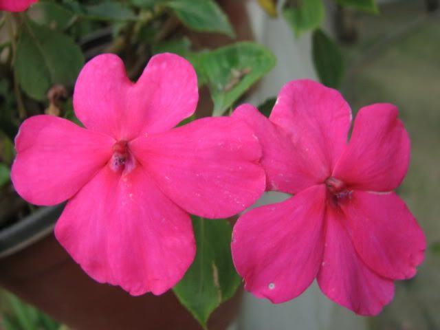Cách chăm sóc hoa ngọc thảo trồng trên ban công - cach cham soc hoa ngoc thao trong tren ban cong 640x480