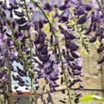 Cách trồng các loại hoa leo giàn đẹp chống nắng cho ban công