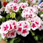 Điểm danh các loại hoa rủ tuyệt đẹp trồng trên ban công