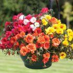 Hướng dẫn cách trồng và chăm sóc hoa mười giờ