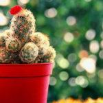 Những điều cần biết về cách chăm sóc cây hoa xương rồng - nhung dieu can biet ve cach cham soc cay hoa xuong rong 150x150