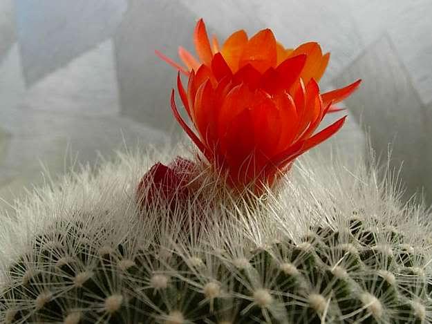 Những điều cần biết về cách chăm sóc cây hoa xương rồng - nhung dieu can biet ve cach cham soc cay hoa xuong rong 2