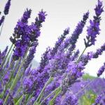 Những sai lầm thường gặp trong cách chăm sóc hoa oải hương