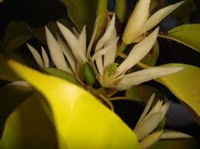 Những tác dụng tốt của cây Hoa Ngọc Lan - hoa ngoc lan chua benh suc khoe giaoduc net vn 10 640x479