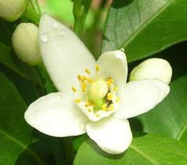 Những tác dụng tốt của cây Hoa Ngọc Lan - hoa ngoc lan chua benh suc khoe giaoduc net vn 11 640x565