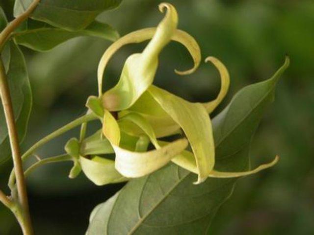Những tác dụng tốt của cây Hoa Ngọc Lan - hoa ngoc lan chua benh suc khoe giaoduc net vn 12 640x480