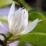 Những tác dụng tốt của cây Hoa Ngọc Lan