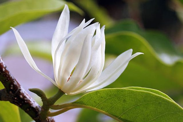 Những tác dụng tốt của cây Hoa Ngọc Lan - hoa ngoc lan chua benh suc khoe giaoduc net vn 2 640x428