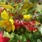 Kỹ thuật trồng cây mai tứ quý và cách chăm sóc sau Tết - ky thuat trong cay mai tu quy va cach cham soc sau tet 150x150
