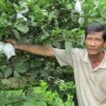 """Làm giàu nhờ trồng giống ổi """"Nữ hoàng"""" - lam giau nho trong giong oi nu hoang 150x150"""