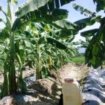 Quy trình kỹ thuật trồng cây chuối phủ bạt - quy trinh ky thuat trong cay chuoi phu bat 150x150