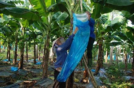 Quy trình kỹ thuật trồng cây chuối phủ bạt - quy trinh ky thuat trong cay chuoi phu bat 2