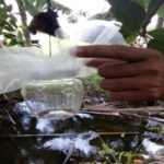 Kỹ thuật nuôi ong ký sinh phòng trừ bọ dừa quy mô nông hộ